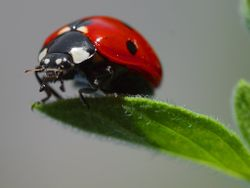 Common Ladybird