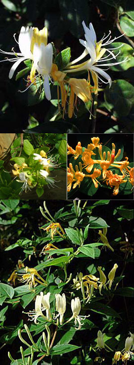2X+Honeysuckle+%2D+Lonicera+japonica+%27Halliana%27+%2D+EVERGREEN+FOLIAGE+%26+VERY+LONG+FLOWERING+PERIOD+%2D+SCENTED+FLOWERS%2E+
