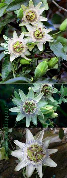 2+x+Passiflora+%27White+Lightning%27+%2D+HARDY+White+passion+flower%2D+EXOTIC+FLOWERS+%26+ORANGE+FRUITS%2E+This+Hardy+Perennial+Climber+has+been+container+grown+so+can+be+planted+at+any+time+of+the+year%2E+We+despatch+WITH+container%2E