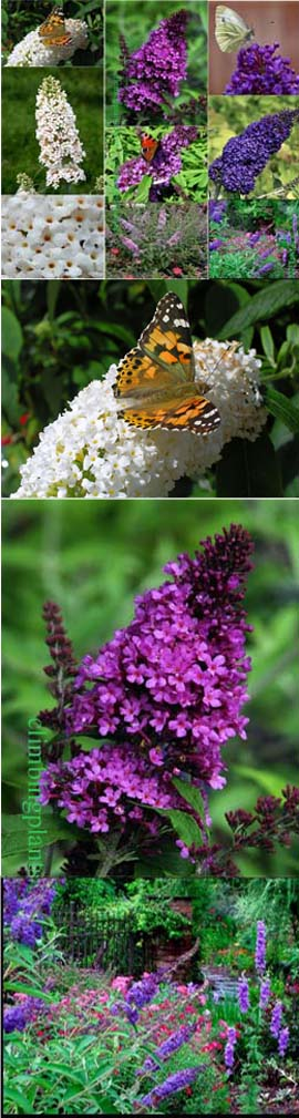 NEW+ENGLISH+BUTTERFLY+SERIES+%2D+3+plant+collection%2D+Dwarf+Buddlejas+with+Long+Fragrant+Flower+Spikes