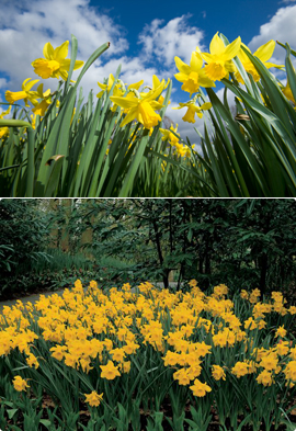 Narcissus+%27February+Gold%27+%2D+minature+daffodils+++SCENTED+FLOWERS+%2A+Commercial+size+bulbs+NOT+small+pre%2Dpacks++%2D++Provides+More+Even+Growth%2A