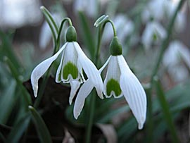 Snowdrops+%2D+%27Galanthus%27+%2D+Beautiful+Pure+Snowy+White+with++Delicate+Flowers+%2D%2ACommercial+size+bulbs+NOT+small+pre%2Dpacks%2A