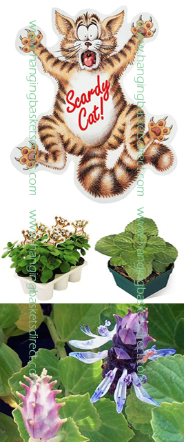 CATS+OFF+PLANTS+%2D+SCAREDY+CAT+PLANTS+%2D+Coleus+canina+hybrid++X+3+Starter+Plants%2E+Plants+despatched+from+May+onwards+as+they+need+frost+protection+and+prefer+good+light+levels+to+grow+quick%2E