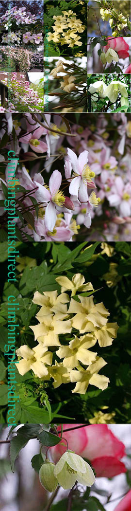 SCENTED+CLIMBERS+FOR+EVERY+SEASON%2D+3+Plant+Collection%2D++These+Hardy+Perennial+Climbers+have+been+container+grown+so+can+be+planted+at+any+time+of+the+year%2E++We+despatch+WITH+container+so+the+roots+are+safe