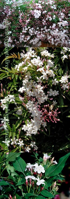 LARGE+70cm%2B+Jasmine+%27Officinale%27+%2D+HARDY+PERENNIAL+CLIMBER%2D+HEAVENLY+SCENTED+WHITE+FLOWERS%2E+This+Hardy+Perennial+Climber+has+been+container+grown+so+can+be+planted+at+any+time+of+year%2E