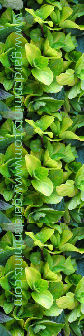 Ginger+Mint%3A+Mentha+x+gracilis%2E+Hardy+Perennial%2E+%283xGarden+Ready+Plants+Supplied%29