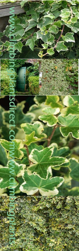 2X++Ivy+%2D+%27Hedera+variagated+Kolibri%27+%2D+HARDY+EVERGREEN+CLIMBER%2E+This+Hardy+EVERGREEN+Climber+has+been+container+grown+so+can+be+planted+at+any+time+of+the+year%2E+We+despatch+WITH+container+so+the+roots+are+safe%2E+