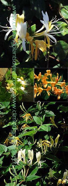 1+x+Honeysuckle+%2D+Lonicera+japonica+%27Halliana%27+%2D+EVERGREEN+FOLIAGE+%26+VERY+LONG+FLOWERING+PERIOD+%2D+SCENTED+FLOWERS+TOO%2E+This+Hardy+Perennial+Climber+is++container+grown+and+is+best+planted+September+to+May%2E+We+despatch+WITH+container+so+roots+are+safe