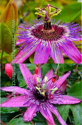 Passion+flower+%2D+Passiflora+%27Purple+Rain%27++EVERGREEN+with+glossy+dark+green+leaves+on+mature+vine%2E+This+Hardy+Perennial+Climber+has+been+container+grown+so+can+be+planted+at+any+time+of+the+year%2E