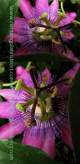 +Passion+flower+%2D+Passiflora++x++Voileacea++EVERGREEN+with+glossy+green+leaves%2E+Attractive+to+bumble+bees%2E+This+Hardy+Perennial+Climber+has+been+container+grown+so+can+be+planted+at+any+time+of+the+year%2E+