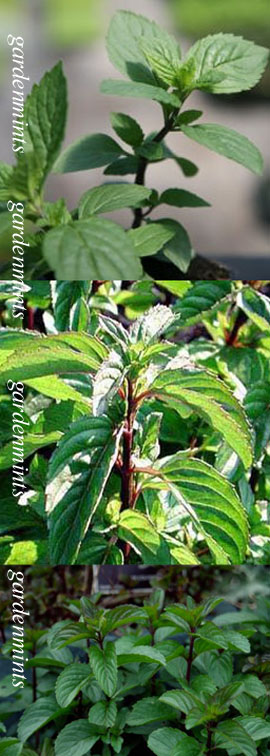 Red+Mint%3A+Mentha+x+smithiana%2E+Hardy+Perennial%2E+%283xGarden+Ready+Plants+Supplied%29