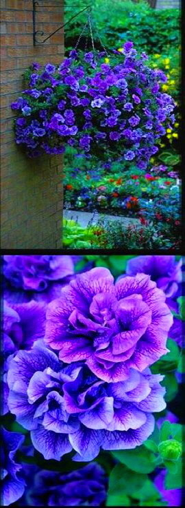Surfinia+%26+Trailing+Petunias+%27Tumbelina+Priscilla%27+%2D+DELIVERY+%2D+MAY+ONWARDS