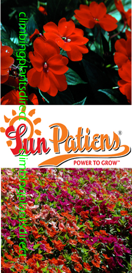 SunPatiens%AE+Vigorous+Red+X+5+Jumbo+Plug+Plants%2E+DELIVERY+%2D+MAY+ONWARDS