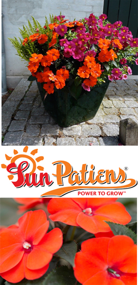 SunPatiens%AE+Compact+Orange+X+5+Jumbo+Plug+Plants%2E+DELIVERY+%2D+MAY+ONWARDS