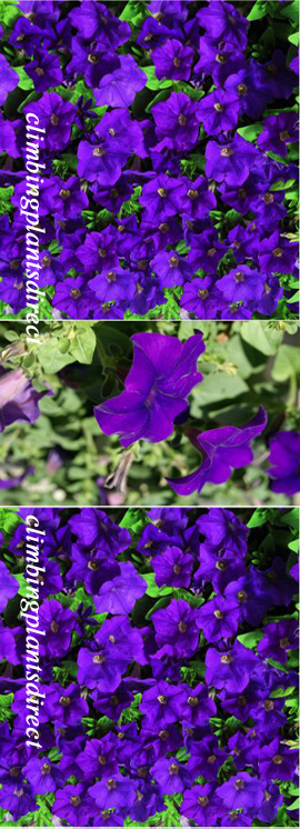 5+X+Surfinia+Trailing+Petunia+Blue+Plug+Plants+%2D+DELIVERY+%2D+MAY+ONWARDS