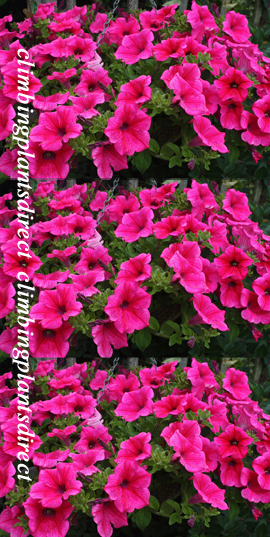 5+X+Surfinia+Trailing+Petunia+Hot+pink+Plug+Plants+%2D+DELIVERY+%2D+MAY+ONWARDS