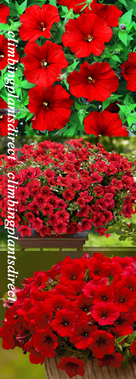 5+X+Surfinia+Trailing+Petunia+Red+Plug+Plants+%2D+DELIVERY+%2D+MAY+ONWARDS
