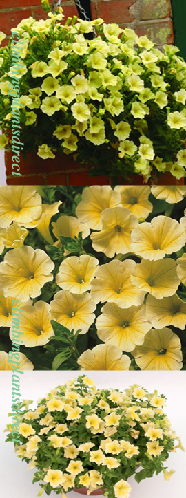 5+X+Surfinia+Trailing+Petunia+Victorian+Yellow+Plug+Plants+%2D+DELIVERY+%2D+MAY+ONWARDS
