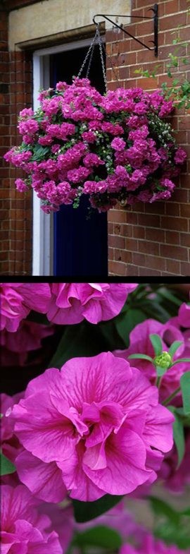 5+X+Trailing+Petunias+%27Tumbelina+Candy+Floss%27+%2D+DELIVERY+%2D+MAY+ONWARDS