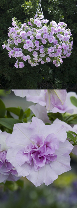 5+X+Trailing+Petunias+%27Tumbelina+Joanna%27+%2D+DELIVERY+%2D+MAY+ONWARDS