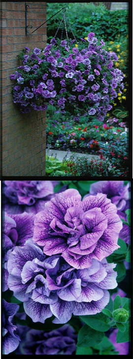 5+X+Trailing+Petunias+%27Tumbelina+Priscilla%27+%2D+DELIVERY+%2D+MAY+ONWARDS