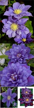 Clematis  'Beauty of Worcester' - RICH AND INTENSE  EXQUISITE LARGE FLOWERING CLIMBER superb for containers. This Hardy Perennial Climber has been container grown so can be planted at any time of the year. We despatch WITH container so the roots are safe