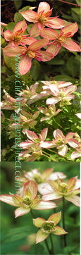 Clematis Plants A-Z