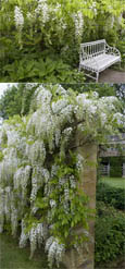 LARGE 70cm +  Wisteria floribunda 'Alba' Japanese Wisteria - THIS HARDY CLIMBING PLANT TAKES YOUR BREATH AWAY WITH STUNNING  LONG SCENTED CHAINS OF WHITE FLOWERS.