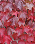Parthenocissus tricuspidata - 'Veitchii'' -  BOSTON IVY - Flame Red Foliage in Autumn. This Hardy Perennial Climber has been container grown so can be planted at any time of the year. We despatch WITH container so the roots are safe.