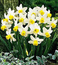Narcissus 'Jack Snipe' - Dwarf growing Daffodil * Commercial Size Bulbs - Not small pre-packs to ensure even growth.*