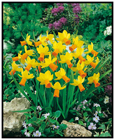 Narcissus 'Jetfire' - Minature daffodil with yellow petals and bright orange trumpet * Commercial size bulbs NOT small pre-packs to ensure even growth*