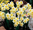 Narcissus 'Minnow'' - minature growing daffodils with HEAVENLY SCENTED FLOWERS * Commercial size bulbs NOT small pre-packs  -  Provides More Even Growth*