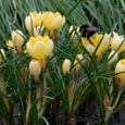 Crocus 'Romance' -  * THE START OF SPRING ! * Commercial size bulbs NOT small pre-packs