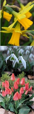 Bulb Collection 2 - Narcissus 'Tete a Tete'  x12, Snowdrops - 'Galanthus' x12, Tulip 'Toronto' x12 * Commercial size bulbs NOT small pre-packs*