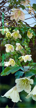 Clematis cirrhosa 'Calycina' - Winter EVERGREEN FOLIAGE AND SCENTED FLOWERS.  This Hardy Evergreen Climber has been container grown so can be planted at any time of the year.