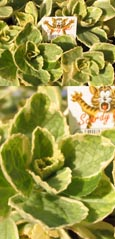 THE NEW CATS OFF VARIEGATED SCAREDY CAT PLANT - PACK OF 5 -  NATURES NATURAL CAT DETERRENT PLANT. ORGANICALLY RAISED NATURAL  PRODUCT. AVAILABLE FROM SPRING