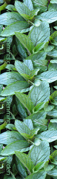Chocolate Mint:  Mentha x piperata f citrata.  Hardy Perennial. (3xGarden Ready Plants Supplied)