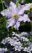 Clematis Angelique ™ Evipo017 Compact habit so great for Patio Containers. FLOWERS TWICE EACH YEAR! This Hardy Perennial Climber has been container grown so can be planted at any time of the year. We despatch WITH container so the roots are safe.