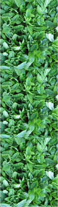 Common Garden Mint