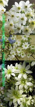 Clematis 'Early Sensation' Evergreen and Scented Flowers.  This Hardy  Perennial Climber has been container grown so can be planted at any time of the year.  We despatch WITH container so the roots are safe.