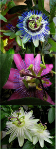 Climbing Plants x 3 Offer- Passion Flower Promotion - Hardy Plants with Exotic Flowers and EVERGREEN GLOSSY FOLIAGE