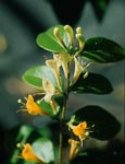2X Evergreen Climbing Plant. Lonicera Copper Beauty * NEW INTRODUCTION* Rich Bronze Foliage and scented flowers