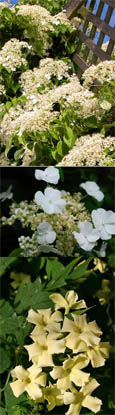 Scented Climbing Plants Offer - Two Of The Best  Scented Evergreen Climbing Plants. Jasmine 'Clotted Cream'  & Hydrangea 'Seemannii'.