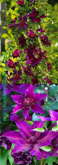 LARGE 70cm+ Clematis 'Fleuri'™ Evipo 042. Compact habit so great for Patio Containers. LONG FLOWERING SEASON! This Hardy Perennial Climber has been container grown so can be planted at any time of the year.