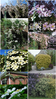 FAST GROWING COLLECTION OF CLIMBING PLANTS PLUS A FREE EVERGREEN BAGGERSEN'S GOLD SHRUB TO PROVIDE ADDED PRIVACY FROM THE SHRUB BORDER - THE ULTIMATE COLLECTION TO PROVIDE PRIVACY & TO PREVENT NOSEY NEIGHBOURS!!
