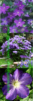 Clematis Bonanza ™ Evipo031  This Hardy  Perennial Climber has been container grown so can be planted at any time of the year.  We despatch WITH container so the roots are safe.