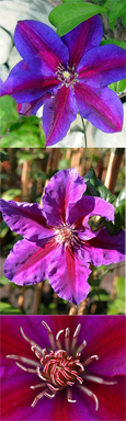 2 x Clematis Anna Louise ™ Evithree. Compact habit so great for Patio Containers. FLOWERS TWICE EACH YEAR! This Hardy Perennial Climber has been container grown so can be planted at any time of the year. We despatch WITH container so the roots are safe.