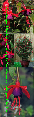 Climbing plant - NEW Hardy Perennial Climbing Fuchsia 'Lady Boothby'