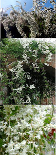 LARGE  75 cm + Russian Vine - Mile-A-Minute Vine. (Fallopia baldschaunica also known as Polygonum baldschuanicu). This Hardy Perennial Climber has been container grown so can be planted at any time of the year. We despatch WITH container so roots are safe