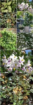 MINT AND CREAM EVERGREEN COLLECTION - 2 Plant Collection Mint Crisp & Solanum Alba - These Hardy Perennial Climbers have been container grown so can be planted at any time of the year. We despatch WITH container so the roots are safe.